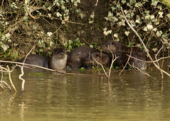 otters (roly2008.) Tags: canon wildlife dorset otter mammals riverstour 500mmf4