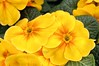 """DSC_0045 - """"Yellow Days"""" (SWJuk) Tags: park uk england home closeup spring nikon raw lancashire primula gardencentre burnley 2014 d90 towneley nikond90 swjuk mygearandme mar2014"""