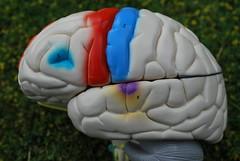Anglų lietuvių žodynas. Žodis cerebrum reiškia n anat. galvos smegenys lietuviškai.