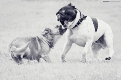 Fight! (Sachada2010) Tags: canon 60d sachada sachada2010 javier martin action movement accion movimiento juego jugando playing lucha animales animals perro dog perros dogs pet mascota bulldog frances french sigma 120400mm fight attack fotografia photography martín odin