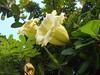 Cangkir mas (Nelindah) Tags: goldencup solanaceae cupofgold taxonomy:family=solanaceae hawaiianlily geo:country=indonesia goldenchalicevine nelindah taxonomy:binomial=solandralongiflora benqac100 charlievine cangkiremas cawanmas cawanemas