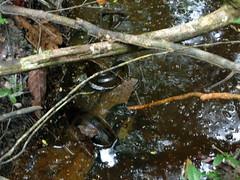 Anaconda in the river
