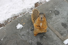 240/365/2431 (February 6, 2015) - Squirrels on a Winter's Day at the University of Michigan (February 6, 2015) - Explored! (cseeman) Tags: squirrels annarbor michigan animal campus universityofmichigan umsquirrels2062015 winter eating peanut snow cold sunny 2015project365coreys yearsevenproject365coreys project365 exploredcseeman p365cs022015 bestofsquirrels februaryumsquirrel gobluesquirrels umsquirrel foxsquirrels easternfoxsquirrels michiganfoxsquirrels universityofmichiganfoxsquirrels