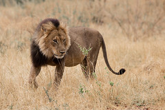 Big male (Wild Dogger) Tags: africa travel animals canon tiere wildlife