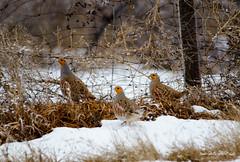 grey partridge (Pattys-photos) Tags: winter grey idaho partridge