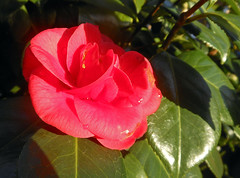 Can't wait for spring (Camperman64) Tags: winter red flower sunshine early spring bright surprise glowing camellia