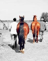 Colour change. (Sammi Celleste Photography) Tags: horses blackandwhite horse animal nikon april 1855mm 1855 equestrian equine blackandwhitephotography 2014