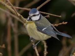 Msange bleue (fbarz) Tags: france bird union jardin 31 garonne oiseau hautegaronne cyanistescaeruleus msangebleue lunion eurasianbluetit passriformes parids