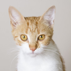 meet Lily (louisa_catlover) Tags: rescue pet white cute cat studio ginger feline lily sweet flash stray strobe