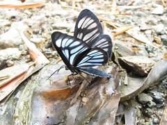 mariposa tecnicolor (JeanPoRamirez) Tags: naturaleza fauna canon colombia natural colores vida mariposas