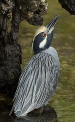 Yellow-Crowned Night-Heron (PictureOnTheWall) Tags: heron florida sanibelisland nycticoraxnycticorax yellowcrownednightheron dingdarlingnwr