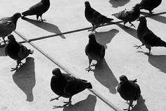 Pigeons (material grrrl) Tags: street blackandwhite birds animals shadows pigeons 365