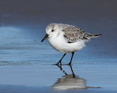 4Z9A5708 Sanderling (Calidris alba), Wallasey Shore, The Wirral (Lathers) Tags: sun beach seaside cheshire newbrighton sanderling calidrisalba thewirral canoneos7dmarkii february2015