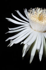 Angelic Body (Mario Morales Rub) Tags: cactus white black flower night triangle background minimal pear barbedwire sword bloom minimalist nightbloom acanthocereus