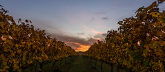 Autmn in the vines (lizcaldwell72) Tags: light newzealand sky sunrise hawkesbay grapevines