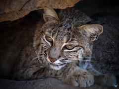 Lookie Loo Bobcat (ELAINE'S PHOTOGRAPHS) Tags: wildlifenatureanimals bobcats cats bigcats felines