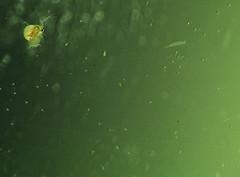 Daphnia moina (Daphnia) (Valter Frana) Tags: macro closeup canon supermacro microcosmos peixes algas guadoce crustceo daphnia canonsx1 alimentovivo filtradores plancto