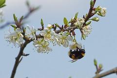 Spring worker. (Jurek.P) Tags: spring mazury poland polska insects bumblebee blooming masuria jurekp sonya77 tzmiel