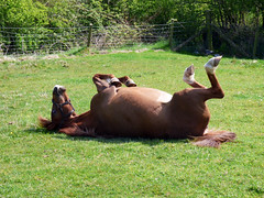 P1010130 (jamiebecky17) Tags: pony silloth chesnut bankmill