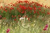 Wild Flowers (Steve Dawson.) Tags: wild flowers poppies colourful field me1 menorca spain balearicislands holiday canoneos400d canon eos 400d digital ef28135mmf3556isusm ef28135mm f3556 is usm 11th may 2016