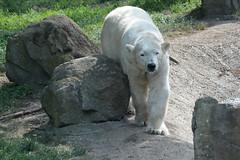 Eisbrin Huggies  im Ouwehands Dierenpark Rhenen (Ulli J.) Tags: netherlands zoo utrecht nederland polarbear paysbas ijsbeer rhenen niederlande eisbr ouwehandsdierenpark isbjrn ourspolaire nederlandene
