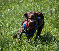 Happiness is...a rescue dog`s first run off lead (mrfurrylover) Tags: rescue dog is pointer time 1st happiness off german short crete haired lead gsp
