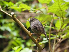 North Island Robin 1 (dougnewdick) Tags: robin zealandia