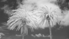 Two Palm Trees, Infrared Time Lapse (Preston Ashton) Tags: trees 2 two blackandwhite bw white black tree monochrome leaves clouds ir video wind twin blow palm palmtree infrared hd 720nm convertedcamera prestonashton