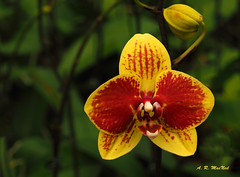 Yellow and Red Orchid - Haiku, Maui (Barra1man (Busy)) Tags: red orchid macro nature yellow hawaii unitedstates orchids haiku olympus maui tropical tropicalflower upcountry iso640 lens500mm f5611000 olympusem1 fragrantfarms