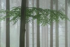 * (sedregh (on/off)) Tags: mist fog forest landscape woods nebel eifel landschaft wald hilberath
