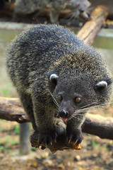 Bearcat (PacificKlaus) Tags: animal mammal palawan bearcat arctictisbinturong