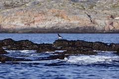 DSC01584_Fotor (Jagupov Igor) Tags: sea russia north oystercatcher kola peninsula barents haematopus ostralegus 12062016