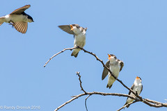 Here comes Mom! (rdroniuk) Tags: birds smallbirds passerines swallows treeswallow tachycinetabicolor oiseaux passereaux hirondellebicolore windemerebasin