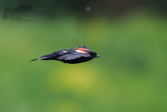 Red WIng Blacked Bird in the rain 1 5_24 (krisinct- Thanks for 12 Million views!) Tags: canon 500 f4 80d