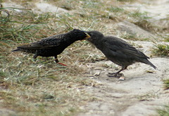 Starenfamilie (binaryCoco) Tags: bird nature animal star natur starling tier vogel sturnusvulgaris vulgaris sturnus