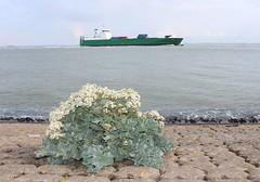 Zeeplant (Omroep Zeeland) Tags: plant dijk zeeplant ritthemse