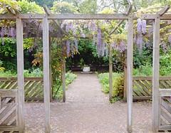 The Old English Garden, Battersea Park, London (Linda 2409) Tags: wisteria pergola