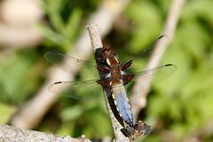 Broad-bodied chaser m (Steve Balcombe) Tags: uk male dragonfly somerset chaser libellula odonata anisoptera depressa broadbodied
