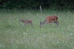 Kouta in tele (natalija2006) Tags: red nature wildlife young deer slovenia tele calf hind cervus elaphus narava kouta jelenjad mladi divjad