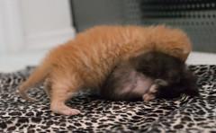 IMG_9453 (jaglazier) Tags: usa cats playing cute animals babies unitedstates tiger may indiana kittens siblings bloomington mammals blackie 2016 52416 copyright2016jamesaglazierandjamesaferguson