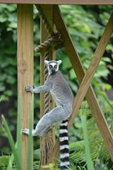 Ringtail (citizen for boysenberry jam) Tags: wild animals zoo texas waco lemur ringtail waza aza cameronparkzoo ringtaillemur