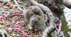 Brown Rat (The Original Happy Snapper) Tags: wild brown nature beauty flow grey rodent rat eating vermin brownrat muriod