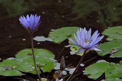 Lt. Blues (ACEZandEIGHTZ) Tags: park flowers blue plants plant water miami waterlilies southdade fruitandspicepark