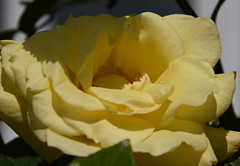DSC_1577 Rose (PeaTJay) Tags: flowers roses plants macro nature rose gardens fauna outdoors reading flora micro closeups berkshire rosebuds lowerearley nikond750