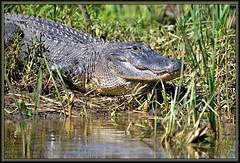 You've gotta know (WanaM3) Tags: nature nikon texas gator reptile alligator scales d750 pasadena canoeing predator paddling alligatormississippiensis clearlakecity wildlfie wanam3 nikond750