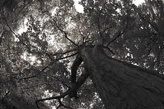 Rseau (Atreides59) Tags: trees brussels bw tree nature k 30 pentax bruxelles arbres arbre atreides k30 pentaxart atreides59 cedriclafrance