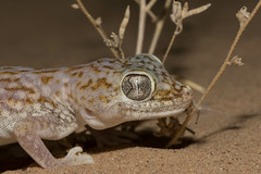 Middle Eastern short-fingered gecko (Stenodactylus doriae)   (RonW's Nature Photography) Tags: macro nature canon israel desert reptile wildlife 100mm short gecko middle eastern reptiles herpetology fingered arava stenodactylus doriae  stenodactylusdoriae