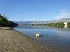 Yutah  wading along Bimbo Beach Columbia River (YutahtheWolamute) Tags: wolfdog wolamute yutahw columbia river hot beach sand wading dog malamute