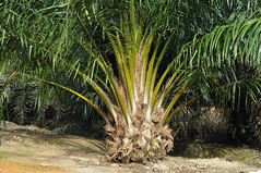 Young oil palm tree (Lim SK) Tags: palm oil