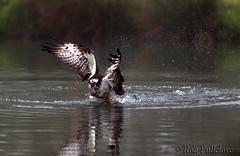 Osprey (Ron Fullelove) Tags: fish bird water photography rainbow fishing hunting dive raptor prey trout splash britishwildlife osprey pandion haliaetus englanduk britishbirds ronfullelove